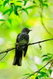 (Rhipidura perlata) Spotted Fantail