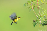 (Nectarinia jugularis ornata) Olive-backed Sunbird ♀