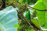 (Chloropsis cochinchinensis) Blue-winged Leafbird ♂