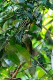(Pycnonotus zeylanicus) Straw-headed Bulbul