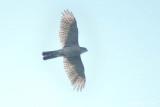 (Accipiter gularis) Japanese Sparrowhawk