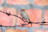 White-Eyes, Munias, Weaver  and Buntings