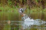 (Anas clypeata)Northern Shoveler ♀