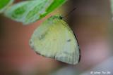 (Catopsilia pyranthe) Mottled Emigrant