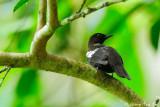 (Pycnonotus melanoleucos)Black-and-White Bulbul