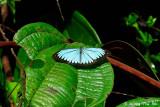 (Pareronia valeria) Malayan Wanderer