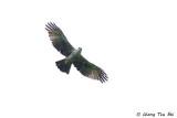 (Hieraaetus kienerii)Rufous-bellied Hawk-eagle