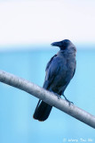 (Corvus splendens) House Crow