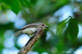 (Pachycephala cinerea)  Mangrove Whistler