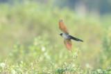 (Clamator coromandus) Chestnut-winged Cuckoo