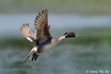 (Anas acuta) Northern Pintail ♂