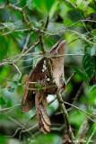 (Batrachostomus auritus)  Large Frogmouth