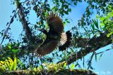 (Anorrhinus galeritus) Bushy-crested Hormbill �Š