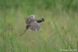 (Gallicrex cinerea) Watercock  ♂