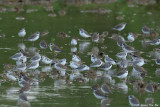 (Calidris alba) Sanderling
