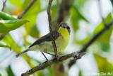 Warblers, Gerygones and Stubtail