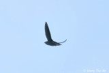 Swifts and Treeswifts