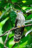(Hierococcyx fugax)  Javan Hawk-cuckoo