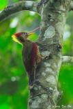 (Picus puniceus)Crimson-winged Woodpecker �‰