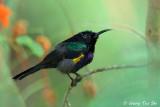 (Nectarinia calcostetha) Copper-throated Sunbird ♂