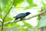 (Surniculus lugubris) Square-tailed Drongo-cuckoo