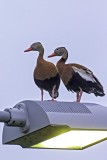 Black-bellied Tree Ducks6840.jpg