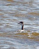 Horned Grebe-winter.jpg