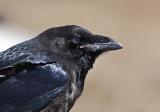 Korp-Northern Raven (Corvus corax)