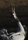 Trana - Crane (Grus grus)