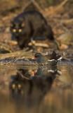 Rörhöna - Common moorhen (Gallinula chloropus)