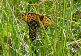 Fritillaries - Regal fritillaries
