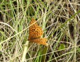 Fritillaries - Meadow fritillaries