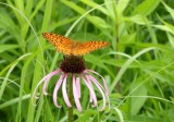 Fritillaries - Great Spangled Fritillaries