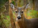 Smoky Mountain Fauna