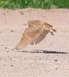 Burrowing Owl BIF