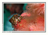 250 Greenmark hermit crab on soft coral (Pagurus caurinus), Browning Passage, Queen Charlotte Strait