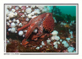 255 Giant Pacific octopus (Enteroctopus dofleini), Browning Passage, Queen Charlotte Strait