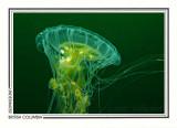 256 Sea blubber jellyfish (Cyanea capillata), Mozino Point, Tahsis Inlet