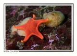 257 Vermilion star and sponge (Mediaster aequalis), Diane's Drift, Tahsis Inlet