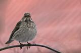 Rariteter / Rare birds in Sweden