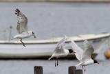 Svarthuvad måsMediterranean Gull(Ichthyaetus melanocephalus)