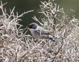SammetshättaSardinian Warbler(Curruca melanocephala)