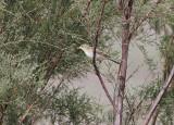 PolyglottsångareMelodious Warbler(Hippolais polyglotta)