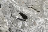 Svart stenskvättaBlack Wheatear(Oenanthe leucura)