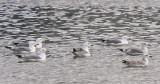 Armenisk trutArmenian Gull(Larus armenicus)