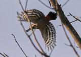 BalkanspettSyrian Woodpecker(Dendrocopos syriacus)