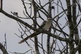 SkatgökGreat Spotted Cuckoo(Clamator glandarius)