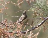BalkansångareBalkan's Warbler(Rhadina orientalis)