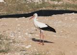 Vit storkWhite Stork(Ciconia ciconia)