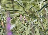 Indisk silvernäbbWhite-throated Munia(Euodice malabarica)